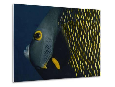 A Close View of a French Angelfish-Bill Curtsinger-Metal Print