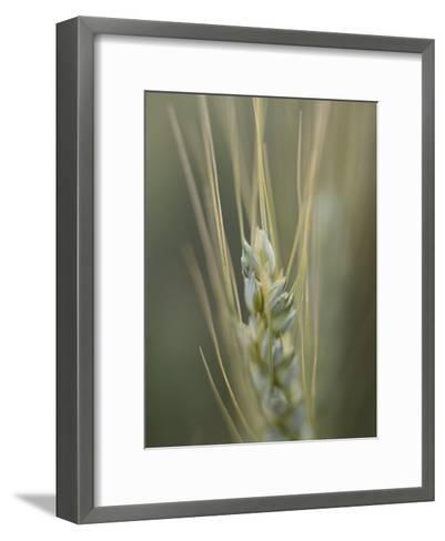 Close-up of the Head of a Wheat Plant-David Boyer-Framed Art Print