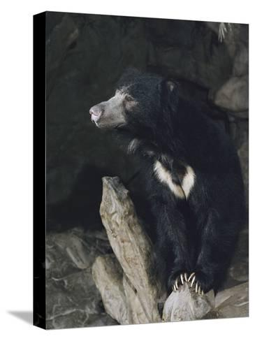A Sleepy Sloth Bear Takes a Breather Outside its Cave-Joseph H^ Bailey-Stretched Canvas Print