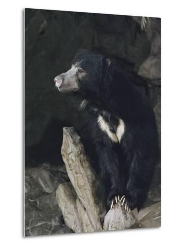 A Sleepy Sloth Bear Takes a Breather Outside its Cave-Joseph H^ Bailey-Metal Print