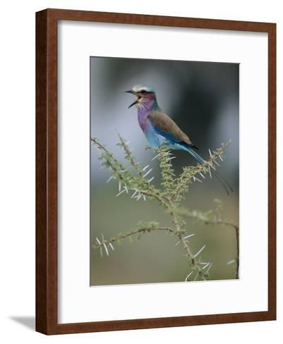A Lilac-Breasted Roller Vocalizes While Perched on a Branch-Roy Toft-Framed Art Print
