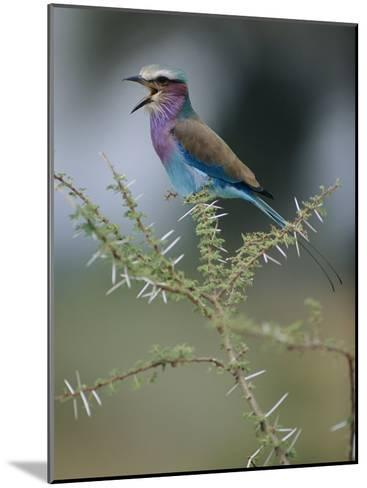 A Lilac-Breasted Roller Vocalizes While Perched on a Branch-Roy Toft-Mounted Photographic Print