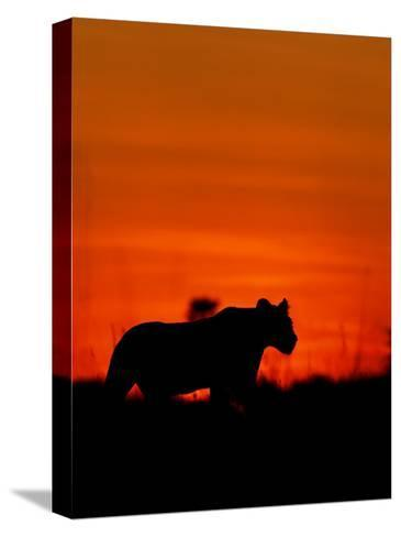A Lioness Gathering Her Cubs Together at Sunset-Beverly Joubert-Stretched Canvas Print