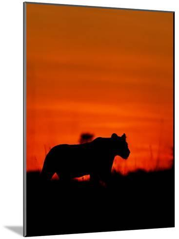 A Lioness Gathering Her Cubs Together at Sunset-Beverly Joubert-Mounted Photographic Print