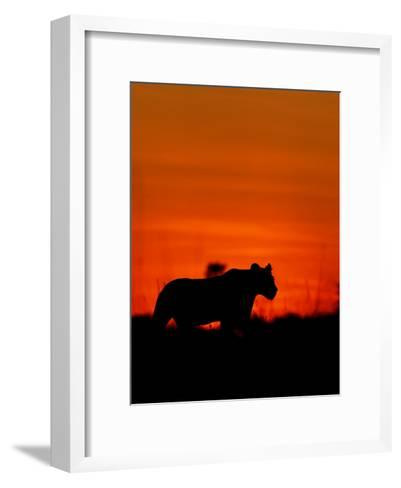 A Lioness Gathering Her Cubs Together at Sunset-Beverly Joubert-Framed Art Print