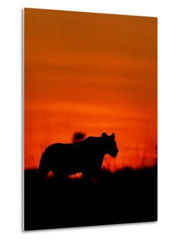 A Lioness Gathering Her Cubs Together at Sunset-Beverly Joubert-Metal Print