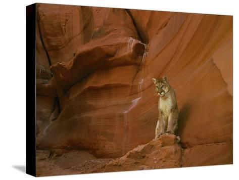 A Mountain Lion Pauses Atop a Rock-Norbert Rosing-Stretched Canvas Print