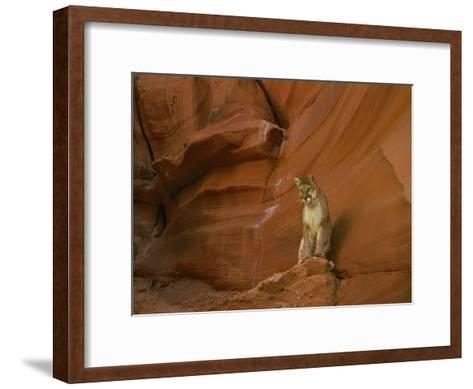 A Mountain Lion Pauses Atop a Rock-Norbert Rosing-Framed Art Print