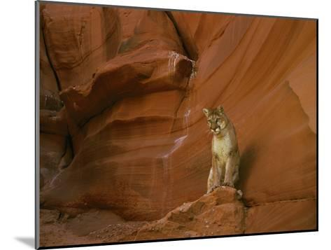 A Mountain Lion Pauses Atop a Rock-Norbert Rosing-Mounted Photographic Print