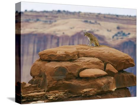 A Mountain Lion Pauses Atop a Cliff Ledge-Norbert Rosing-Stretched Canvas Print