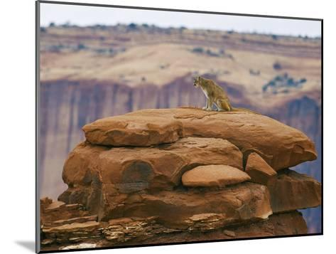 A Mountain Lion Pauses Atop a Cliff Ledge-Norbert Rosing-Mounted Photographic Print