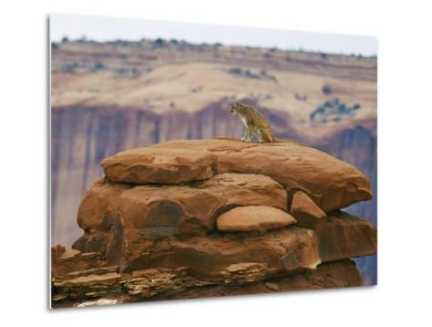 A Mountain Lion Pauses Atop a Cliff Ledge-Norbert Rosing-Metal Print