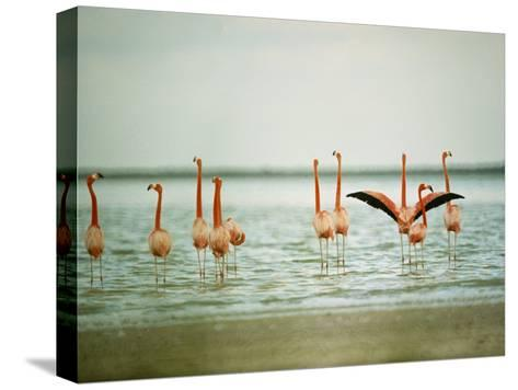 Flamingoes in the Water-James L^ Stanfield-Stretched Canvas Print