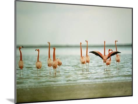 Flamingoes in the Water-James L^ Stanfield-Mounted Photographic Print