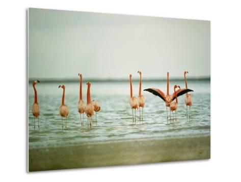 Flamingoes in the Water-James L^ Stanfield-Metal Print