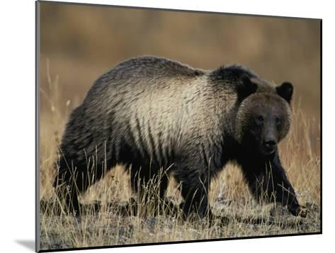 Grizzly Bear-Michael S^ Quinton-Mounted Photographic Print