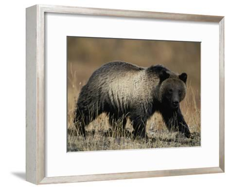 Grizzly Bear-Michael S^ Quinton-Framed Art Print