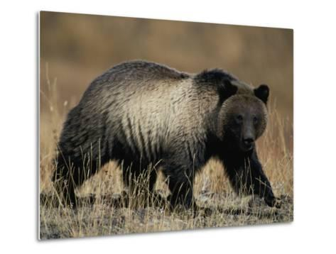 Grizzly Bear-Michael S^ Quinton-Metal Print
