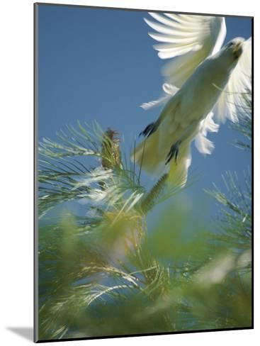 A Little Corella Cockatto Takes Flight from a Pine Tree-Jason Edwards-Mounted Photographic Print