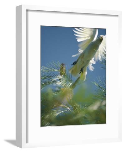 A Little Corella Cockatto Takes Flight from a Pine Tree-Jason Edwards-Framed Art Print