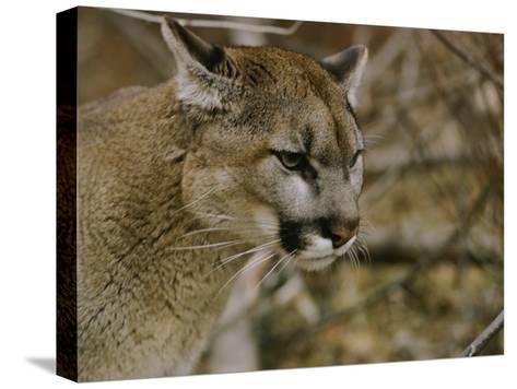 The Head of a Mountain Lion-Dr^ Maurice G^ Hornocker-Stretched Canvas Print
