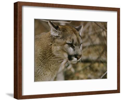 The Head of a Mountain Lion-Dr^ Maurice G^ Hornocker-Framed Art Print