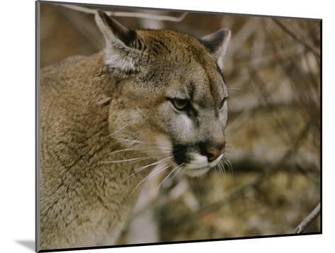 The Head of a Mountain Lion-Dr^ Maurice G^ Hornocker-Mounted Photographic Print