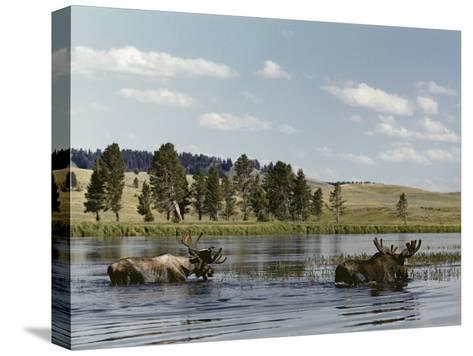 Two Bull Moose Wade Through a Lake Where They Have Come to Feed on Aquatic Plants-Dr^ Maurice G^ Hornocker-Stretched Canvas Print