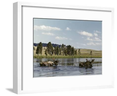 Two Bull Moose Wade Through a Lake Where They Have Come to Feed on Aquatic Plants-Dr^ Maurice G^ Hornocker-Framed Art Print