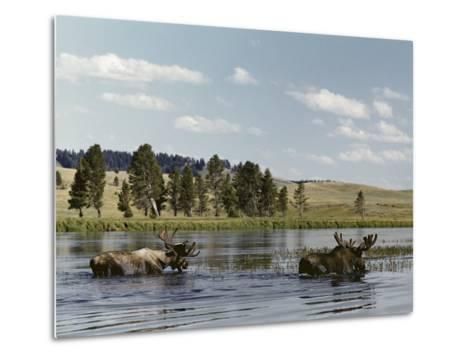 Two Bull Moose Wade Through a Lake Where They Have Come to Feed on Aquatic Plants-Dr^ Maurice G^ Hornocker-Metal Print