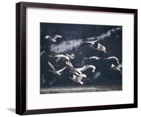 Swans Flying Low over Water-Dr^ Maurice G^ Hornocker-Framed Art Print