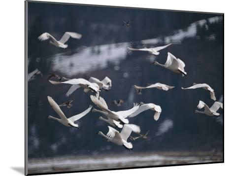 Swans Flying Low over Water-Dr^ Maurice G^ Hornocker-Mounted Photographic Print