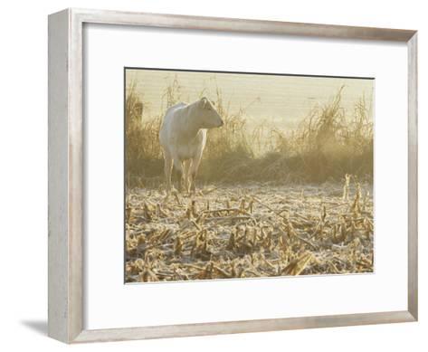 A White Cow Standing in a Harvested Cornfield-Kenneth Garrett-Framed Art Print
