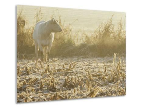 A White Cow Standing in a Harvested Cornfield-Kenneth Garrett-Metal Print
