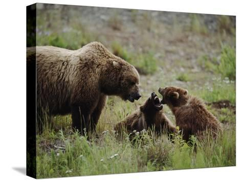 A Mother Grizzly Bear Watches as Her Two Cubs Play-Joel Sartore-Stretched Canvas Print