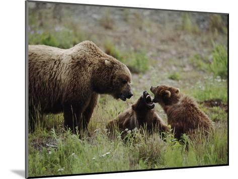 A Mother Grizzly Bear Watches as Her Two Cubs Play-Joel Sartore-Mounted Photographic Print