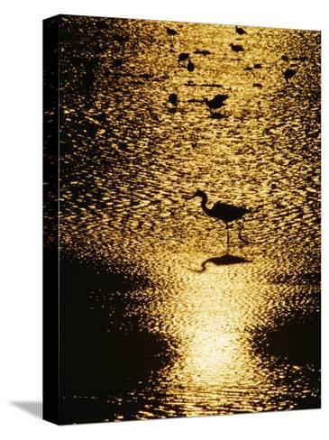 A Great Blue Heron Stands in Silhouette-Bates Littlehales-Stretched Canvas Print