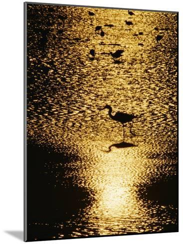 A Great Blue Heron Stands in Silhouette-Bates Littlehales-Mounted Photographic Print