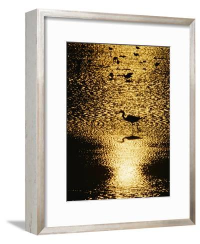 A Great Blue Heron Stands in Silhouette-Bates Littlehales-Framed Art Print