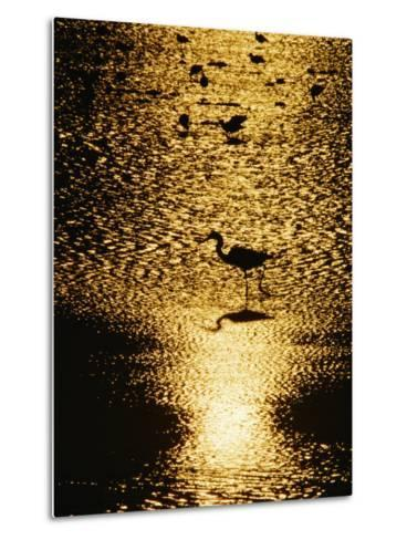 A Great Blue Heron Stands in Silhouette-Bates Littlehales-Metal Print