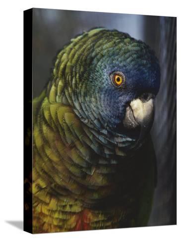 Saint Lucia Parrot-Bates Littlehales-Stretched Canvas Print