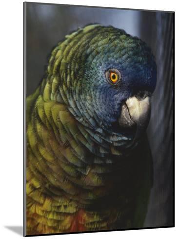 Saint Lucia Parrot-Bates Littlehales-Mounted Photographic Print