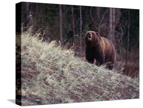 Grizzly Bear-Bobby Model-Stretched Canvas Print