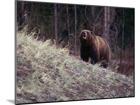 Grizzly Bear-Bobby Model-Mounted Photographic Print