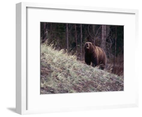 Grizzly Bear-Bobby Model-Framed Art Print