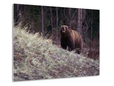 Grizzly Bear-Bobby Model-Metal Print