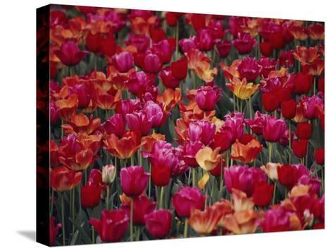 Tulips Bloom in the Hotel Gardens-Stephen St^ John-Stretched Canvas Print