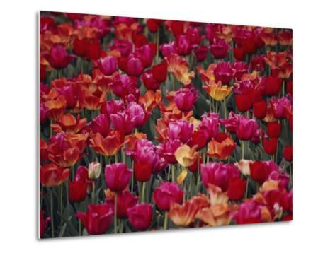 Tulips Bloom in the Hotel Gardens-Stephen St^ John-Metal Print