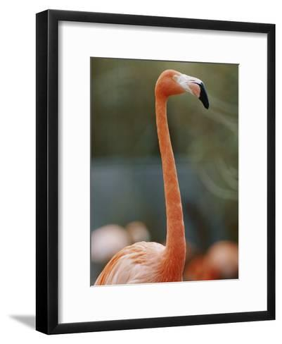 Flamingo-Vlad Kharitonov-Framed Art Print