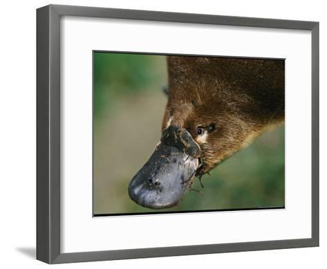 A Close View of a Platypuss Bill-Nicole Duplaix-Framed Art Print